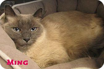 Siamese Cat for adoption in Menomonie, Wisconsin - Ming