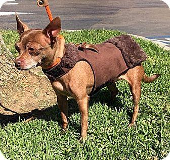 Chihuahua Mix Dog for adoption in Vista, California - Rider