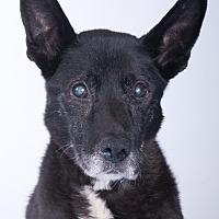 Adopt A Pet :: Sheena - Chicago, IL