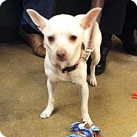 Adopt A Pet :: Sugar - South Bend, IN