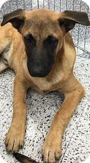 Belgian Malinois Mix Puppy for adoption in Tucson, Arizona - Hans