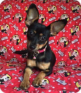 Miniature Pinscher/Chihuahua Mix Puppy for adoption in pasadena, California - CHLOE
