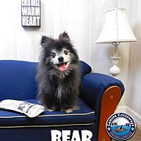 Pomeranian Dog for adoption in Arcadia, Florida - Bear