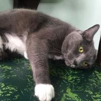 Domestic Shorthair/Domestic Shorthair Mix Cat for adoption in Chattanooga, Tennessee - Billie