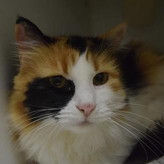 Domestic Longhair/Domestic Shorthair Mix Cat for adoption in Heber, Utah - Sophie