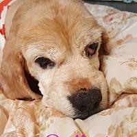 Adopt A Pet :: Bella - Pottsville, PA