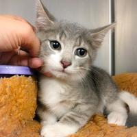 Adopt A Pet :: Tobias - Wantagh, NY