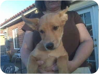 Shepherd (Unknown Type)/Cattle Dog Mix Puppy for adoption in Scottsdale, Arizona - cute pup