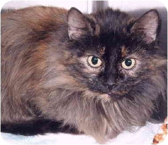 Domestic Longhair Cat for adoption in Grass Valley, California - Georgia