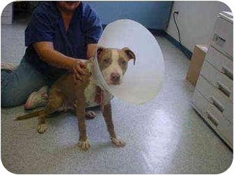 American Pit Bull Terrier Mix Puppy for adoption in Tracy, California - marvin