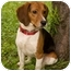 Photo 1 - Beagle Dog for adoption in Westfield, New York - Fonzie