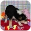 Photo 3 - Australian Cattle Dog/Cattle Dog Mix Puppy for adoption in Broomfield, Colorado - Diane Keaton