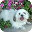 Photo 1 - Shih Tzu Dog for adoption in Los Angeles, California - EMI