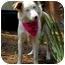 Photo 1 - Australian Shepherd Dog for adoption in Savannah, Georgia - Sheba
