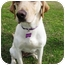 Photo 3 - Labrador Retriever Mix Dog for adoption in Preston, Connecticut - CiCi