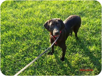 Labrador Retriever Dog for adoption in Lewisville, Indiana - Faith
