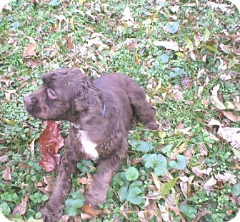 Cockapoo Mix Puppy for adoption in Kannapolis, North Carolina - Coco Girl  -Adopted!