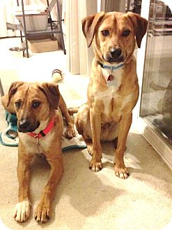 Labrador Retriever/Beagle Mix Dog for adoption in Snohomish, Washington - Nate and Lenny, sweet Shy Pair