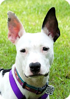 Boston Terrier/Feist Mix Dog for adoption in North Augusta, South Carolina - MACY