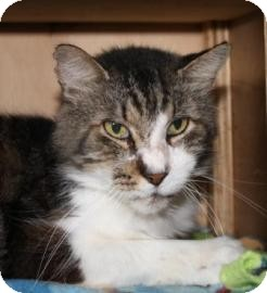 Domestic Shorthair Cat for adoption in West Des Moines, Iowa - Quagmire