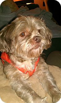 Lhasa Apso Dog for adoption in Wilmington, Delaware - Mugsy- URGENT