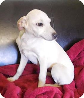 Feist/Whippet Mix Puppy for adoption in Portland, Maine - Snow