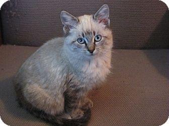 Siamese Kitten for adoption in Houston, Texas - Aiden