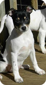 Fox Terrier (Smooth) Mix Puppy for adoption in Hagerstown, Maryland - Foxy