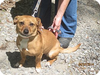 Dachshund/Beagle Mix Dog for adoption in Chesterfield, Virginia - Ci CI
