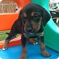Adopt A Pet :: Damsel - Linton, IN