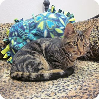 Domestic Shorthair Cat for adoption in San Leon, Texas - Samson