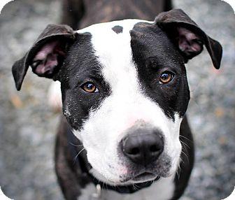 American Bulldog/Hound (Unknown Type) Mix Dog for adoption in Reisterstown, Maryland - Nala