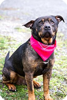 Rottweiler Mix Dog for adoption in Minneapolis, Minnesota - Turtle