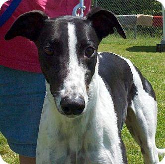 Greyhound Dog for adoption in Randleman, North Carolina - Fanny