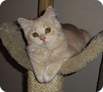 Maine Coon Cat for adoption in Lisbon, Ohio - Nike - ADOPTED!