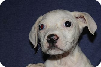 Labrador Retriever/Hound (Unknown Type) Mix Puppy for adoption in Colonial Heights, Virginia - Crystal