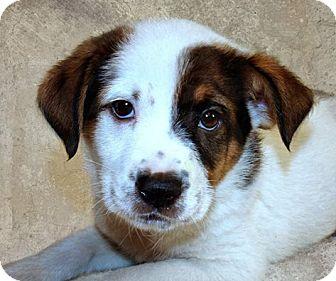 Shepherd (Unknown Type) Mix Puppy for adoption in Jackson, Mississippi - Patton