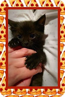Domestic Mediumhair Kitten for adoption in Mansfield, Texas - Pizza Steve