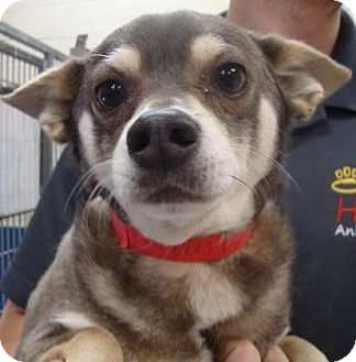 Chihuahua Mix Dog for adoption in Meridian, Idaho - Fagan