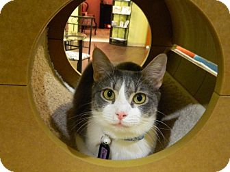 Domestic Shorthair Cat for adoption in The Colony, Texas - Clarity