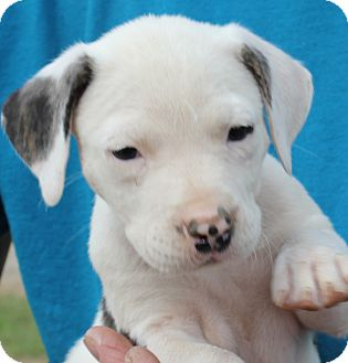 Hound (Unknown Type)/Husky Mix Puppy for adoption in Colonial Heights, Virginia - Brittany Ears