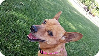 Chihuahua Mix Dog for adoption in Apache Junction, Arizona - Olive