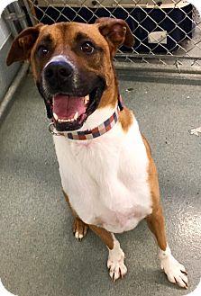 Boxer Mix Dog for adoption in St. Louis, Missouri - Prancer