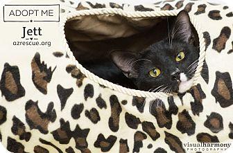 American Shorthair Cat for adoption in Phoenix, Arizona - Jett