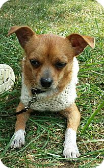 Chihuahua Mix Dog for adoption in LaGrange, Kentucky - El Toro
