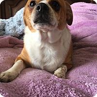 Chihuahua/Corgi Mix Dog for adoption in st peters, Missouri - Mickey