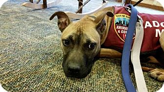 Shepherd (Unknown Type)/Terrier (Unknown Type, Medium) Mix Dog for adoption in Fulton, Missouri - Waffle- Ohio