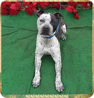 Pit Bull Terrier/Cattle Dog Mix Dog for adoption in Marietta, Georgia - TYRION