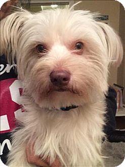 Maltese/Yorkie, Yorkshire Terrier Mix Dog for adoption in Encino, California - Camden