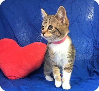 Domestic Shorthair Kitten for adoption in Monroe, Michigan - Iris